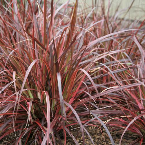 Proven Winners | 'Fireworks' - Variegated Red Fountain Grass - Pennisetum setaceum 'Rubrum'