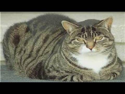 Cat Health & Care : Cat Diabetes & Vomiting