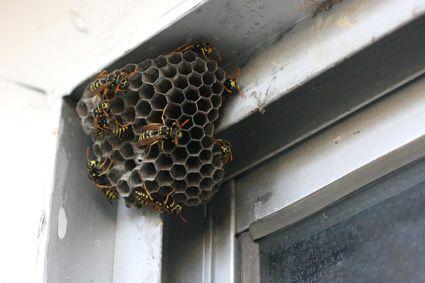 hornet nest - Google Search