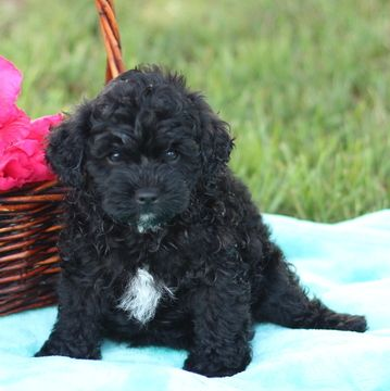 Pomeranian-Poodle (Toy) Mix puppy for sale in GAP, PA. ADN-38614 on PuppyFinder.com Gender: Male. Age: 7 Weeks Old