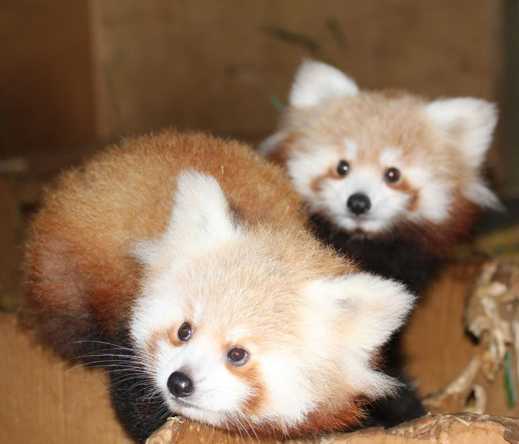 Peek-a-boo At Hamilton Zoo With Two Red Panda Cubs  Today on ZooBorns: http://www.zooborns.com/zooborns/2014/06/peek-a-boo-at-hamilton-zoo-with-two-red-panda-cubs.html