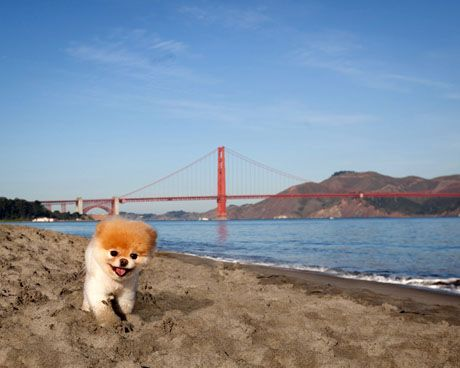 Boo - The Cutest Dog in the World - Is Coming Out with his Second Book - my mother wants this dog. Where can I find it?