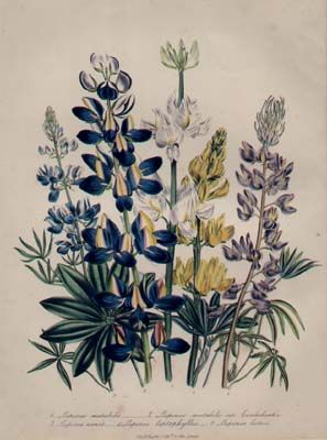 10 images about lupine tattoo inspo on pinterest 3rd for Botanical tattoo london
