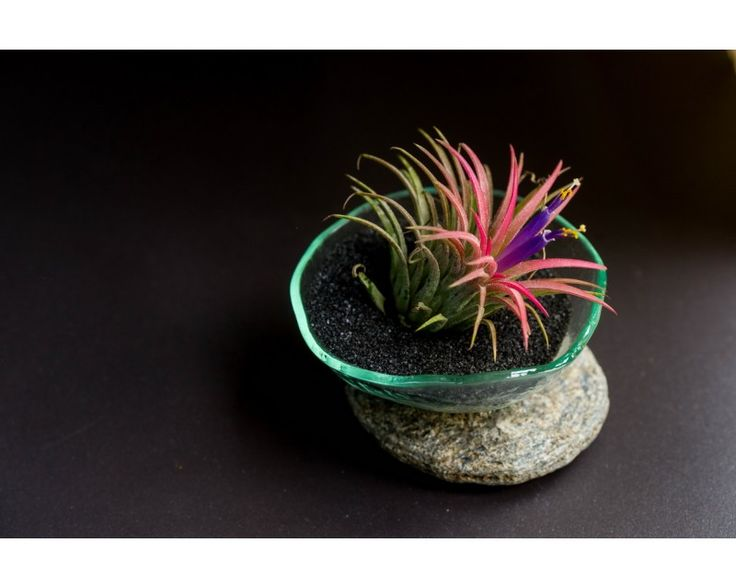 On The Rocks #Tillandsia #Airplants #Design #Tropical