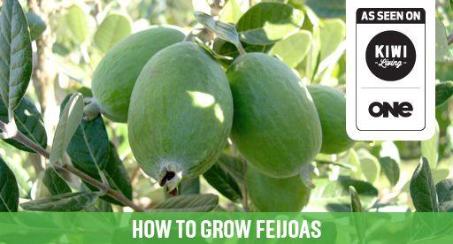 Tui Garden   Feijoa Growing Guide