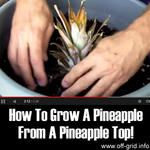 How To Grow A Pineapple From A Pineapple Top!