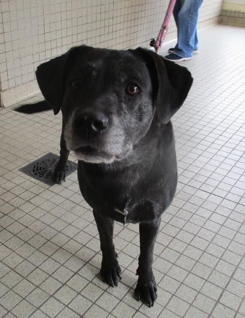 TEQUILA  Haute-Garonne (31)      Type : Labrador     Sexe : Femelle     Couleur : Noir avec marque blanche     Pelage : Courts     Age : 5 ans     Taille : Moyen