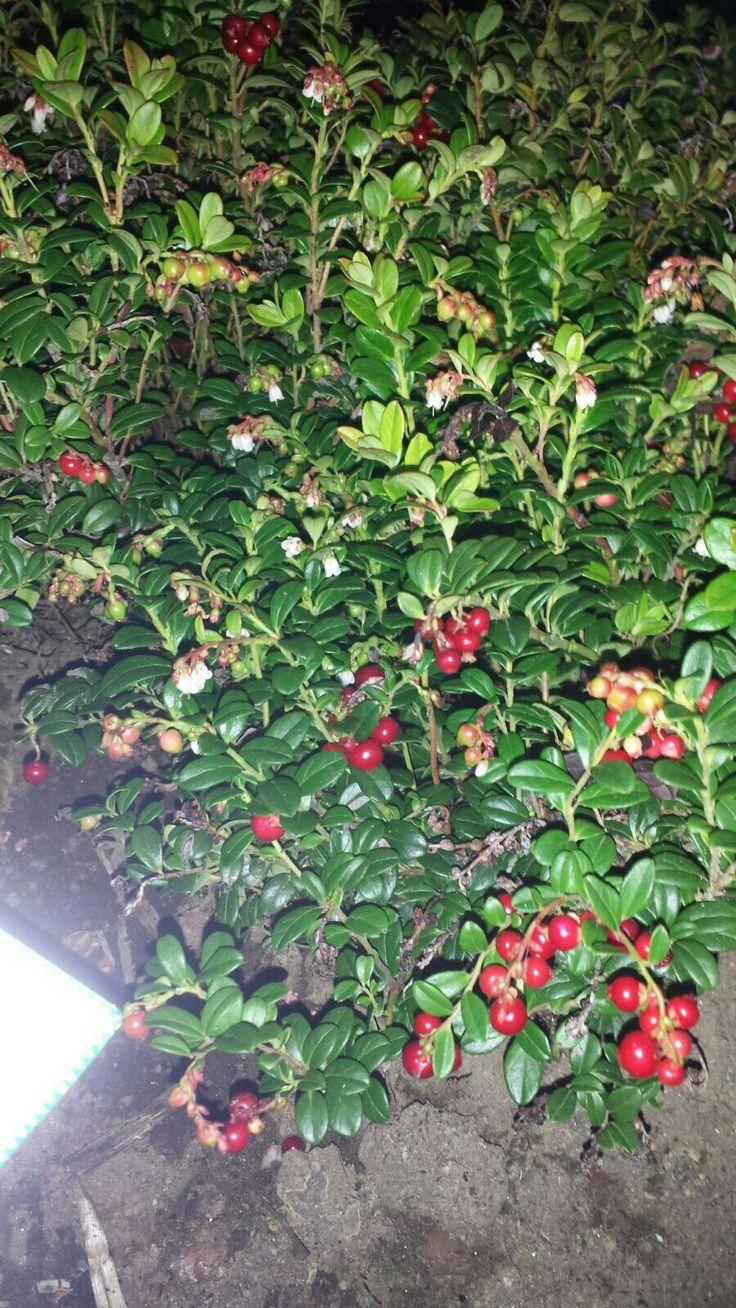 Puolukka (Vaccinium vitis idaea)20.9 Sekametsä