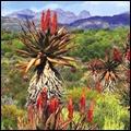 Aloe plants in the Great Karoo, Western Cape