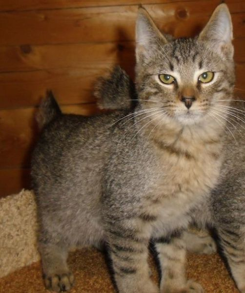 While the name suggest this wild-looking cat has bobcat origins, researchers are still uncertain on how the Pixie-Bob originated. The trademarks of the breed include its gorgeous coat, short tail and polydactylism, which means the Pixie-Bob sometimes has extra digits