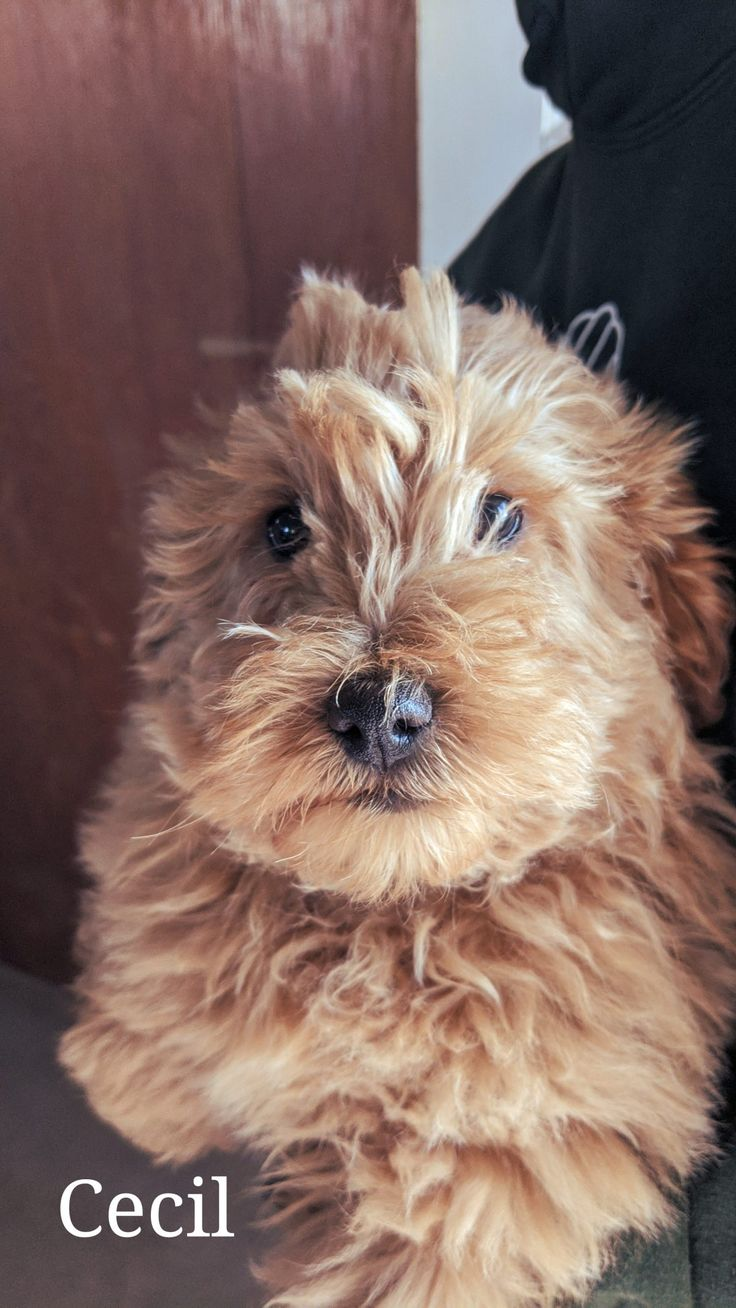 Cecil F1b Miniature Goldendoodle doggie for sale in