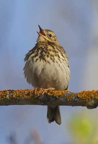 Metsäkirvinen, Anthus trivialis - Linnut - LuontoPortti