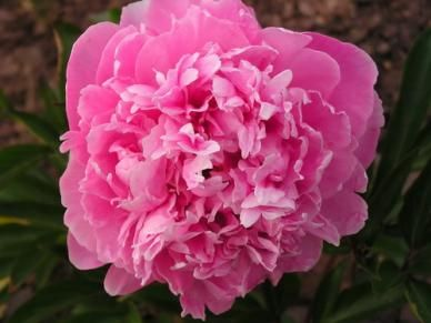 """Peonies """"Emile Dubatene""""  Emile Dubantene peony bulbs grow into salmon-pink, rose-shaped, double flowers  Dark pink with lighter pink in the center"""