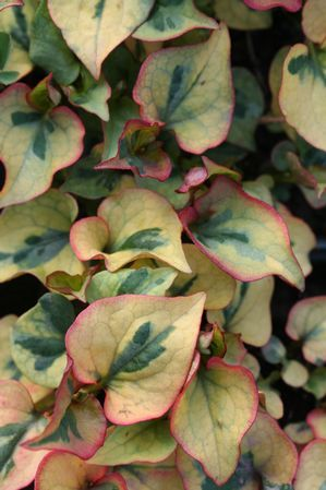 Houttuynia cordata 'variegata'  Variegated Chameleon Plant  Tricolor ground cover. All parts are edible. Gingery to cilantro like taste and herbal scent. Good in oriental cooking and salsa like dishes. Has medicinal purposes too, prepared as a tea.