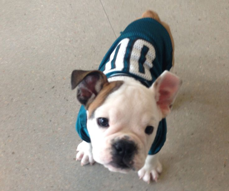 Last year, this little #Eagles fan came in to pick up his season tickets. #NationalPuppyDay