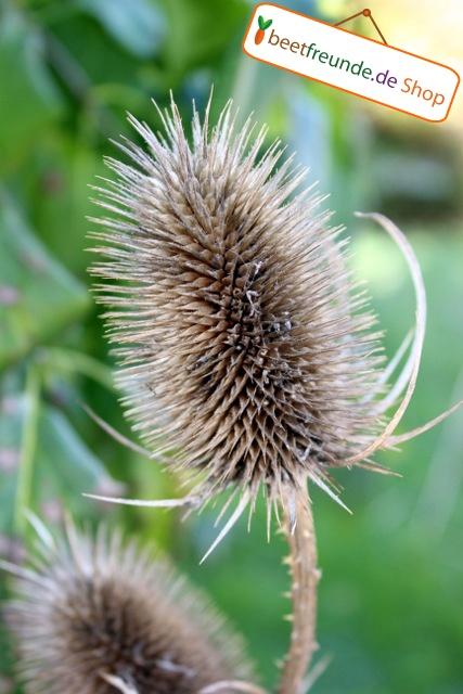 Auch verblühte Pflanzen können im Herbst noch schön aussehen.  Hier sieht man eine veblühte Distel.