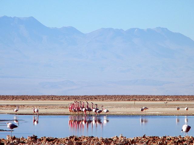 La danza del Flamenco, Salar de Atacama, Antofagasta, Chile. by EcoturChile, via Flickr