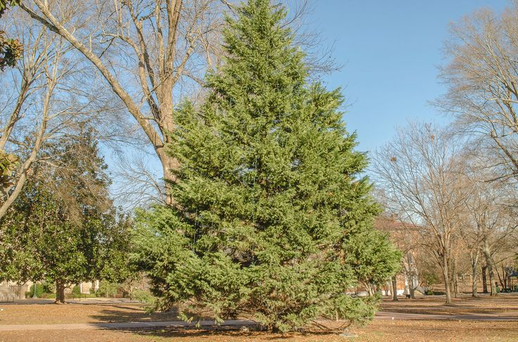 Attractive and normally trouble free, cedar trees can be great additions to the landscape. To learn more about cedar tree care or how to grow cedar trees, you may find the following information helpful.