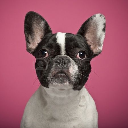 French Bulldog against pink background