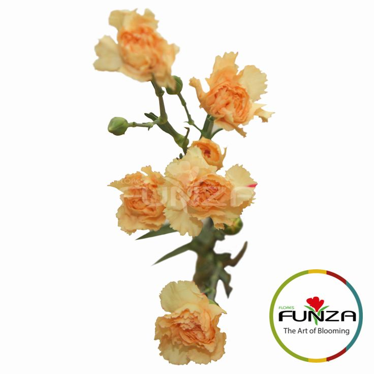 Peach Spray Carnation from Flores Funza. Variety: Danny. Availability: Year-round.