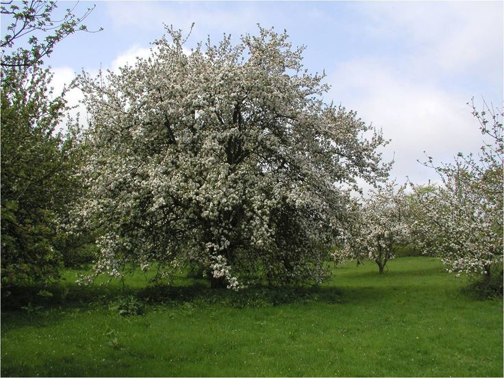 Aspalls Chevallier Orchard makes delicious cider which we use at Tracklements #Tracklements #Cider #Aspalls #Orchard #Blossom