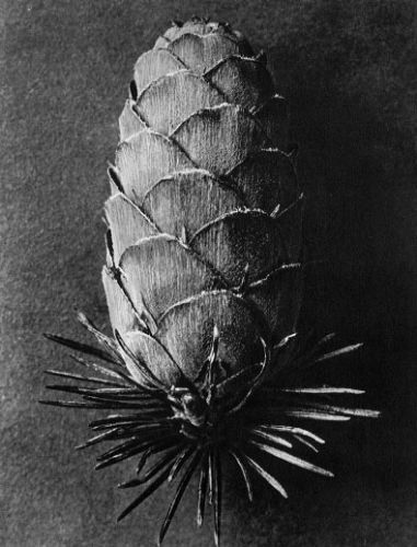 Karl Blossfeldt (1865-1932) botanical fine art photographer - Larix decidua