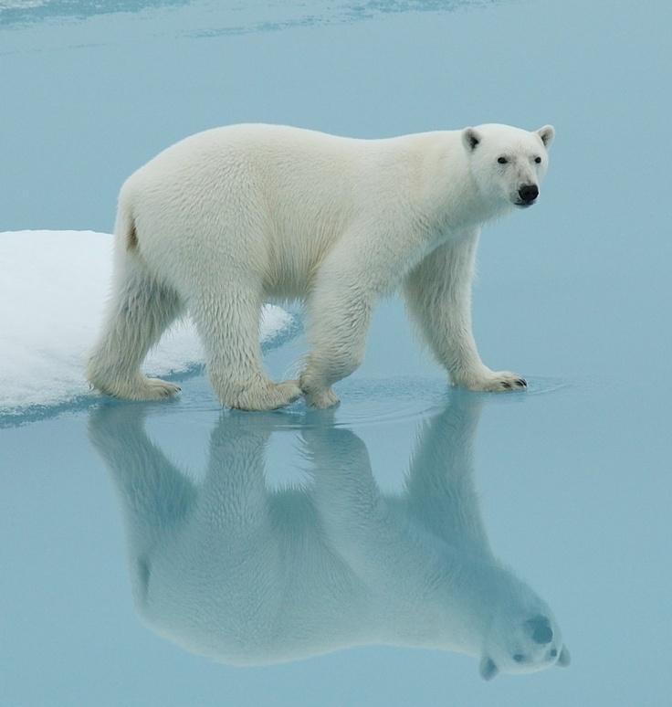 102 best polar bears eisbren images on pinterest beautiful polar bear in canadian arctic sciox Choice Image