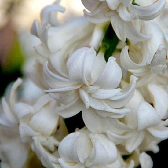 Hyacinth 'Madame Sophie': Flowers Gardens, Expert Gardens, Gardens Advice, Favorite Flowers, Outdoor Gardens Ideas, Flowers Power, Beautiful Flowers, Gardens Bulbs, Exotic Flowers