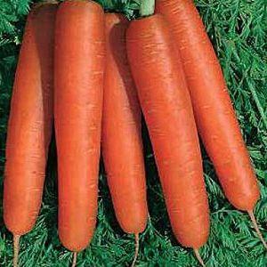 Когда сажать морковь под зиму. Сорта моркови для подзимнего сева. | Красивый Дом и Сад