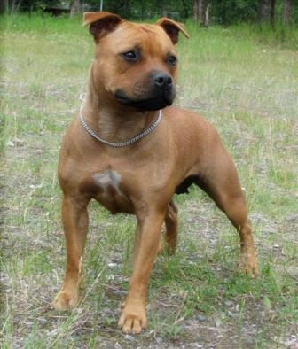 American Staffordshire Terrier !! this is what our dog looks like half safff half boxer.same color