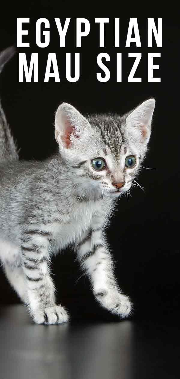 Egyptian Mau Size How Big Will They Grow Egyptian Mau Cat