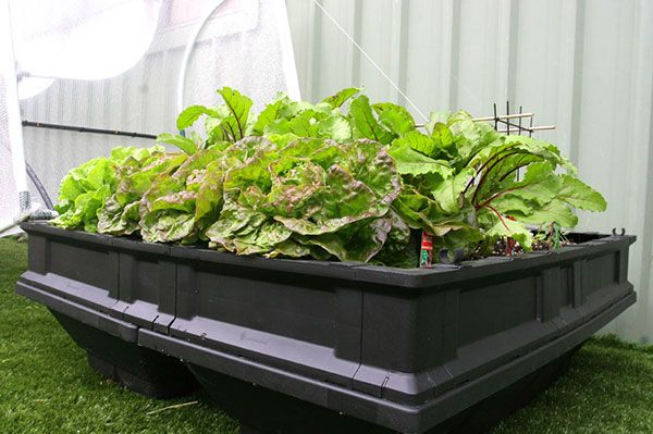 Lettuce, beetroot and some snow peas over the back