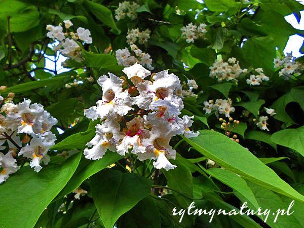 Katalpa to przepiękne drzewo o ozdobnych liściach, kwiatach i owocach. Upiększa ogród przez cały rok zamieniając go w egzotyczny raj.  #katalpa #catalpa #surmia #ogród #rytmynatury