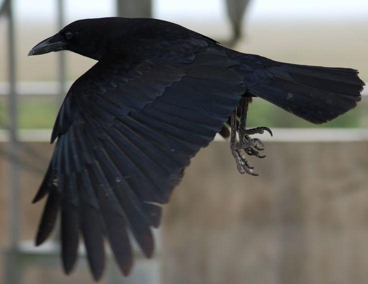 Raven Flying Photo by RavenJoolz | Photobucket