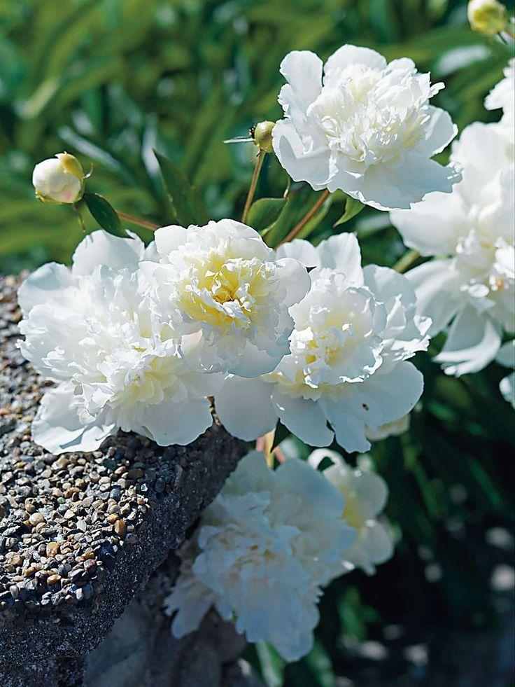 Örtartad pion: 'Festiva Supreme' De vita blommorna med ljusgula skuggor i mitten är doftande och kommer i slutet av våren och blommar fram till midsommar. Busken blir ungefär 90 cm hög. Trivs i sol och sandig jord.