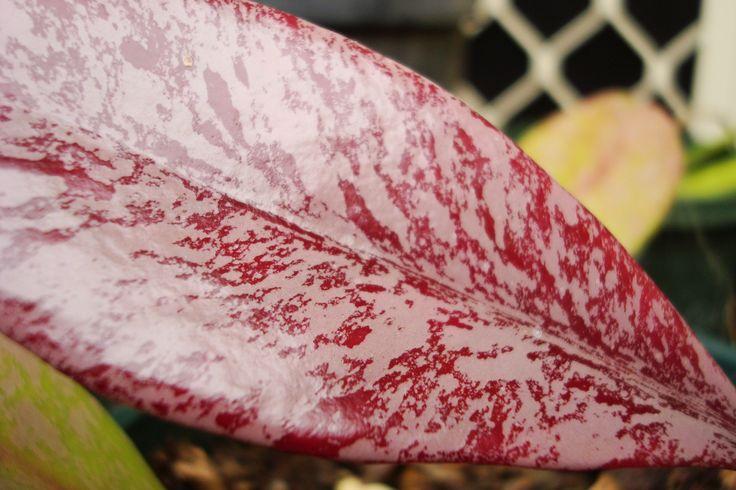H.pubicalyx leaf @169