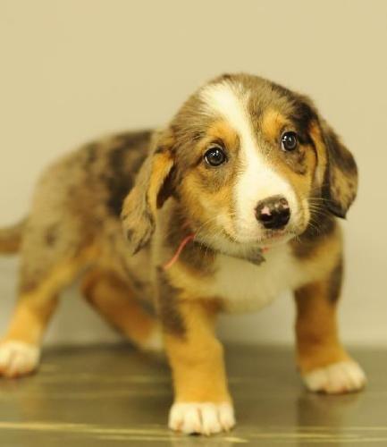 Australian Shepherd/Corgi Mix. Sweet Child! This dog needs you lol