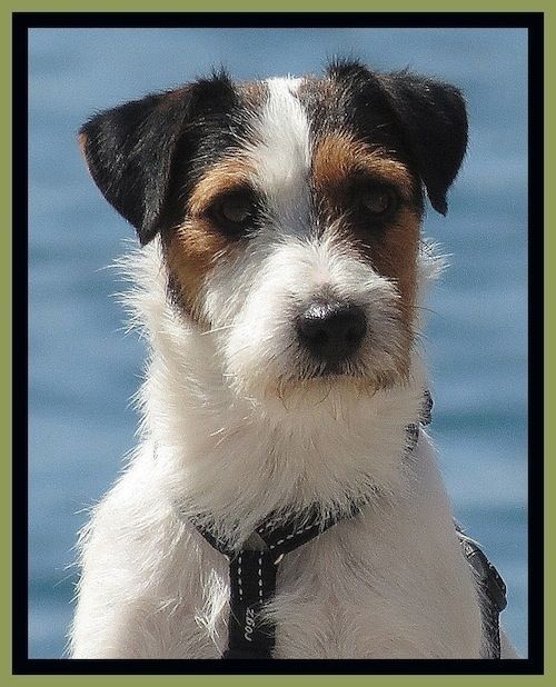 Parson Russell Terrier Growth Best 25+ Parson Russel...
