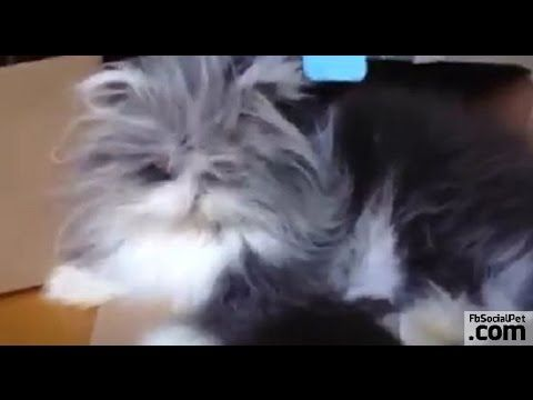 Gatto nella scatola | FbSocialPet.com » Canale Video » FbSocialPet: social network per cani, gatti, cavalli, tutti gli animali Che misteriosa ricetta conoscono i gatti per saper dosare in modo così perfetto dolcezza e crudeltà, timidezza e aggressività, docilità e spirito selvaggio? #Iloveanimals #Ilovepets #Ilovemypuppies #cats #iostoconfbsocialpet #FbSocialPet  Seguici sul canale YouTube