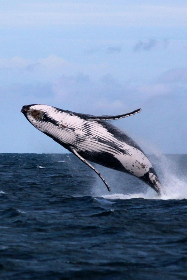 Frolicking whale - humpback? Southern right? Does anyone know? -- Megan R says this gorgeous creature is a humpback whale.