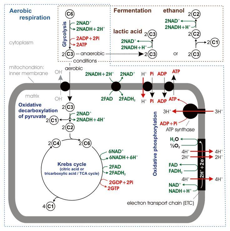 Cellular respiration - Cellular respiration - Wikipedia, the free encyclopedia