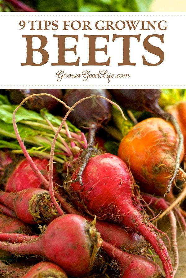 How To Grow Beets From Seed To Harvest Growing Beets Beets Vegetable Garden