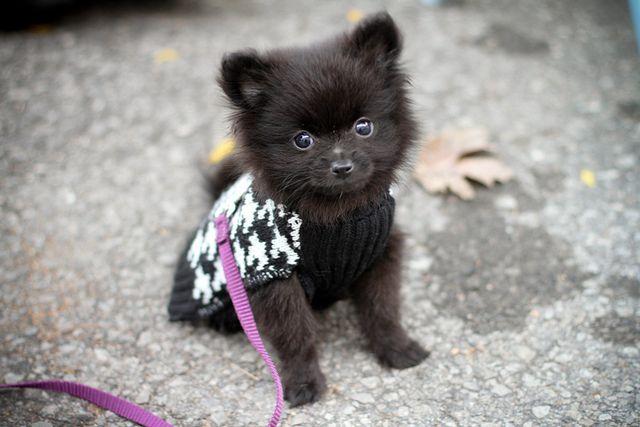 Baby Pomeranian! Aw :)