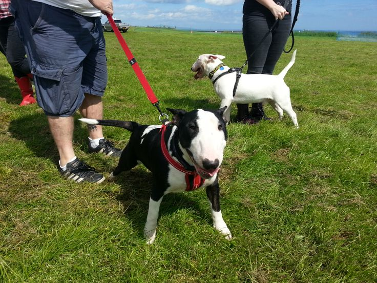 Ruby and Buddy English Bull Terriers about to cross the start line at Great North Dog Walk 2014.