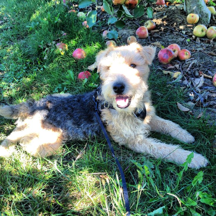 11 best Lakeland terriers. images on Pinterest | Lakeland terrier ...