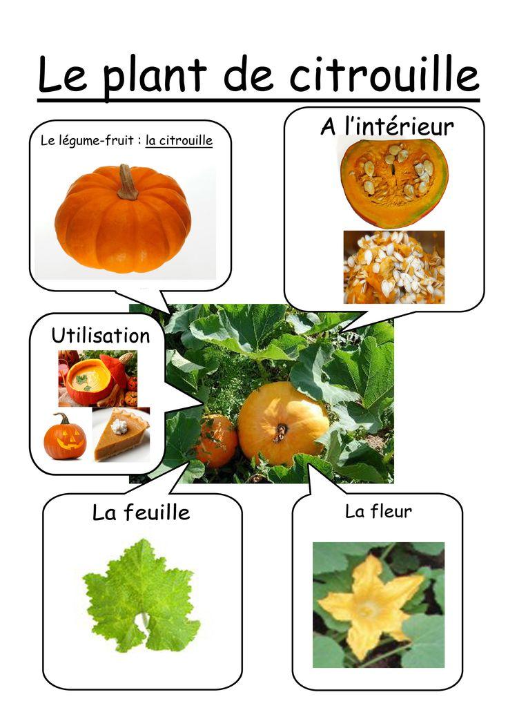 Plant citrouille
