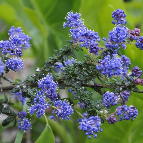 25 best ceanothe images on pinterest plants shrubs and blue flowers. Black Bedroom Furniture Sets. Home Design Ideas