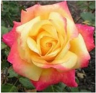 'Peace' rose: Meilland originally wanted to name his new cultivar after World War II British Field Marshal Alan Brooke for his role in the liberation of France. Brooke recommended the rose instead be named 'Peace'.