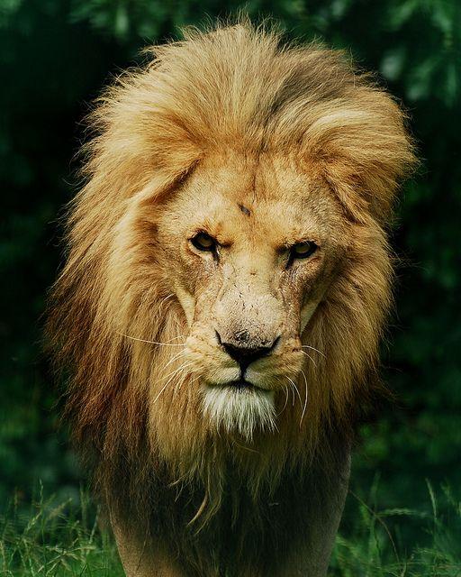 by Daysleeper40 on Flickr.: Awesome Animal, King Of Beast, Big Cat, Wildlife Parks, Panthera Leo, Animal Kingdom, Paradis Wildlife, Lion King, Parks 110911