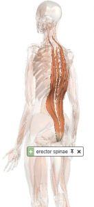 erector spinae muscle illustration